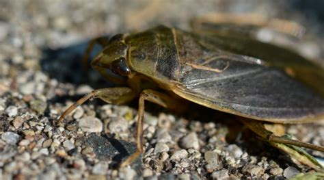 water bugs in house water bugs in house how to get rid 28 images cockroach how to get rid of roaches