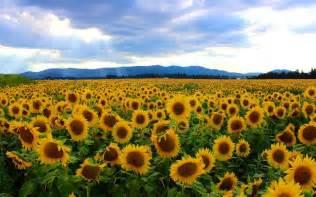 sunflower fields sunflower field wallpaper 25455