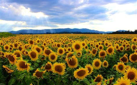 sunflower field sunflower field wallpaper 25455