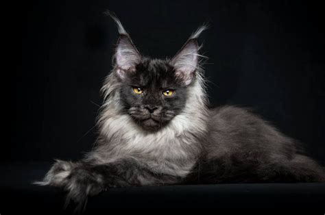 Portraits of Maine Coon Cats Who Look Like Majestic