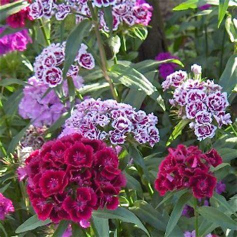 fiore garofano fiori di garofano