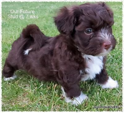 chocolate havanese puppies for sale akc havanese puppies chocolate havanese puppies akc havanese puppies breeds picture