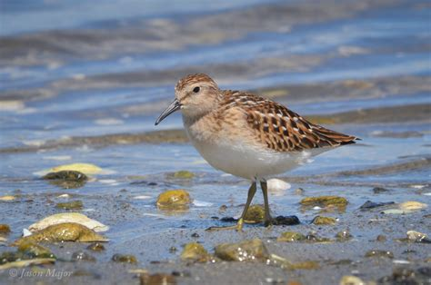 least sandpiper rhode island bird hunter