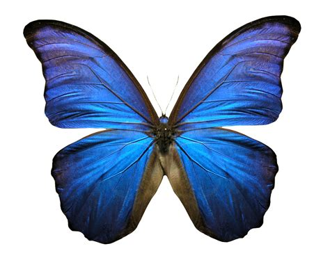 Butterfly Blue butterfly 3 free images at clker vector clip