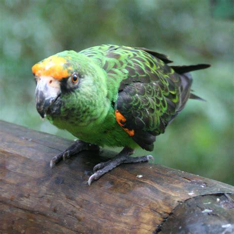 file poicephalus gulielmi birds of south africa 8a