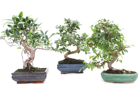 Indoor Bonsai Kaufen by Buying Bonsai Trees In A Store Or Shop Bonsai Empire