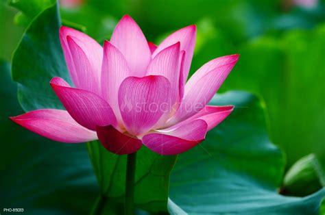 focus photography of pink lotus flower in bloom water lotus flower blooming in pond stock photo stockfuel