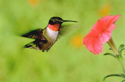 patios in bloom hummingbirds