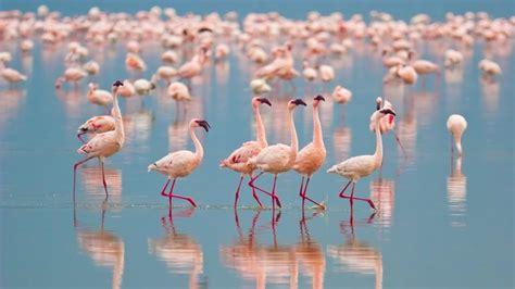 flamingo live wallpaper over raffles giveaways flight rising