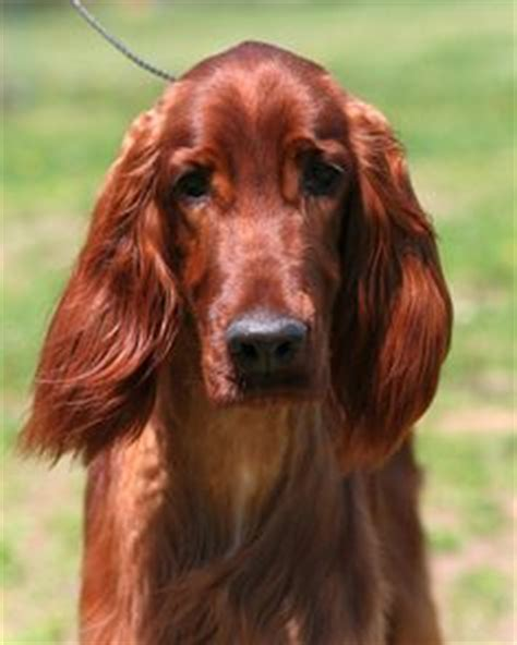red setter dog facts irish setter puppy bow wow pinterest setter puppies