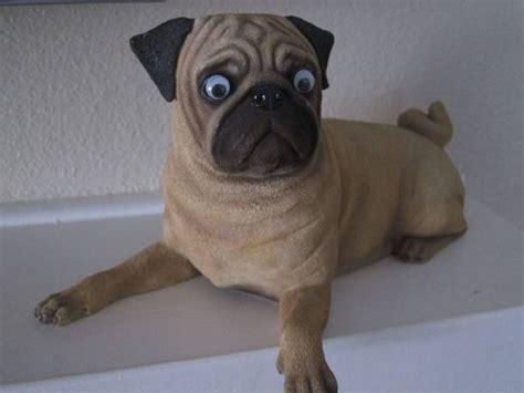 pug googly googly meme memes