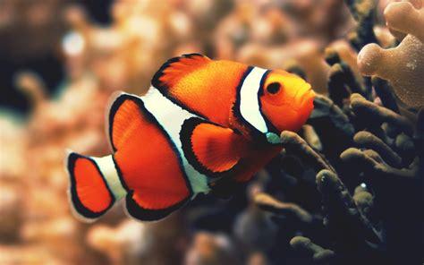 Ikan Nemo gambar ikan nemo related keywords suggestions gambar ikan nemo keywords