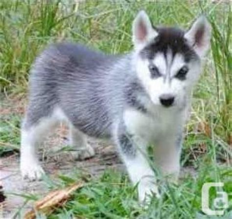 blue eyed husky puppies for sale gorgeous blue siberian husky puppies for sale toronto for sale in toronto