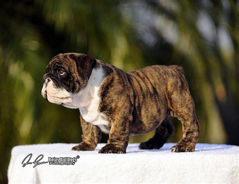 brindle bulldog puppies bulldog puppy brindle flickr photo