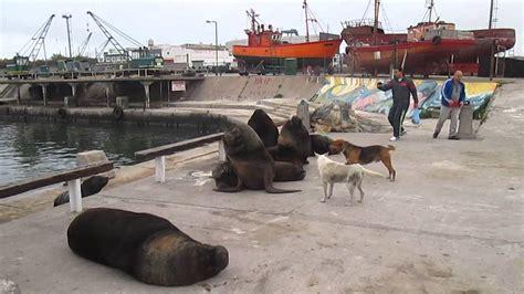 victorias por mar de lobos marinos en el puerto de mar del plata youtube