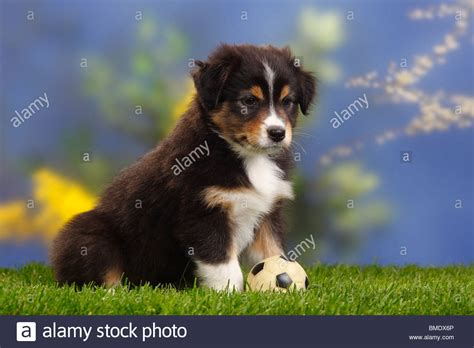 black australian shepherd puppy australian shepherd puppy 7 weeks black tri stock photo royalty free