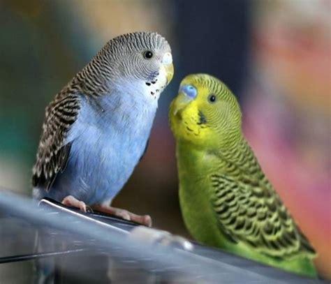alimentazione cocorite cocorite uccelli esotici allevare le cocorite