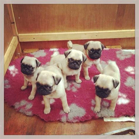 pugs for sale lincolnshire fawn pugs for sale mablethorpe lincolnshire pets4homes