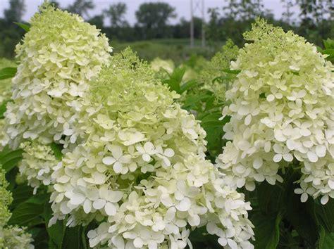 Hydrangea Paniculata Phantom 5200 hydrangea paniculata phantom plantes ext 233 rieures