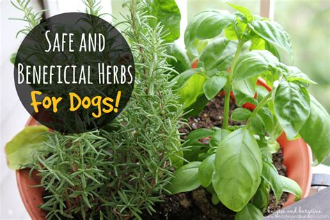 is rosemary safe for dogs safe and beneficial herbs for dogs