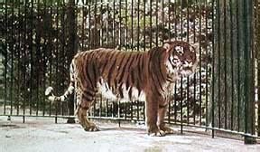 tigre persiana caspian tiger