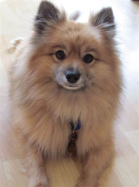 southern california pomeranian rescue teddy s rescue story 1 800 petmeds cares