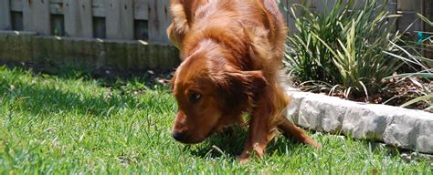 how to fearful dogs signs of fear and how to help golden retriever rescue of mid florida