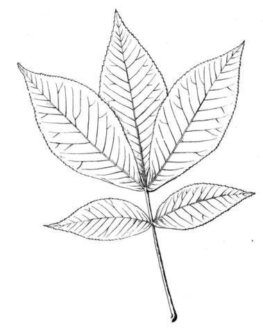 hickory leaf coloring page shagbark hickory leaf coloring page supercoloring com