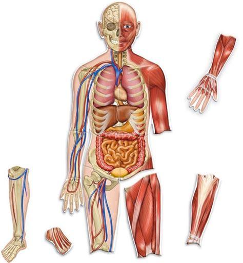 anatomia interna corpo umano quais s 227 o as maiores partes do corpo humano ci 234 ncias