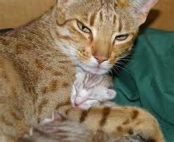 Dna Kucing 02 kucing ocicat