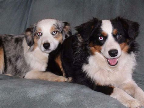 mini american shepherd puppies pint size mini american shepherds breeders el cajon ca