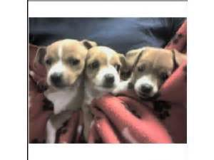 beagle puppies san antonio beagle puppies in