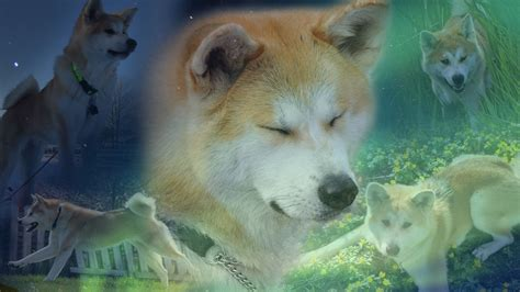 june 2012 dogs wallpapers backgrounds akita wallpapers fun animals wiki videos pictures stories