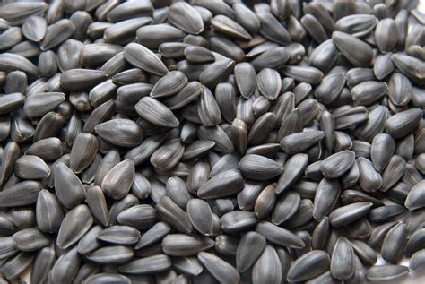 black oil sunflower seeds boss for horses the equine
