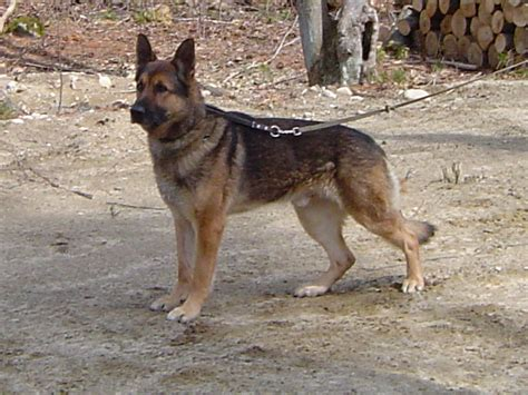 belgian malinois german shepherd mix belgian shepherd husky mix breeds picture