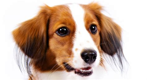 kooikerhondje puppies kooikerhondje breed information american kennel club
