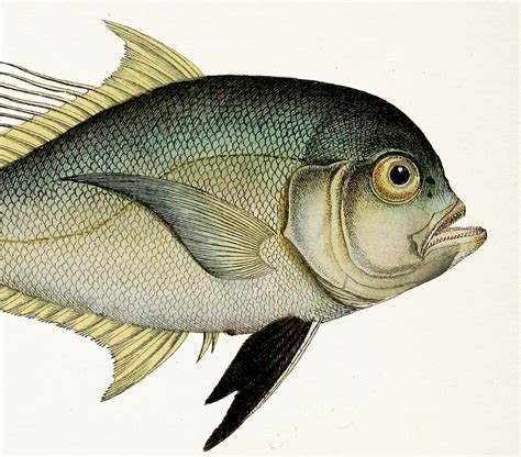 antike dielen befuddled 1801 fish drawing cleftbelly trevally 8x10