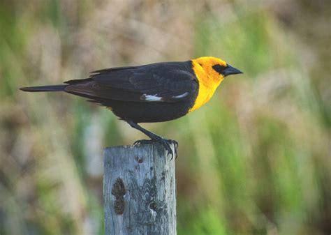 yellow headed blackbird quot xanthocephalus quot photo ron asp