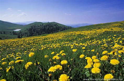 prato con fiori f a b flora alpina bergamasca archivio fotografico