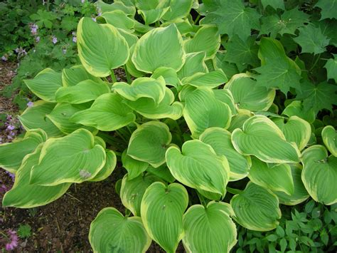 fragrant shade plants hosta fragrant queen carolyn s shade gardens