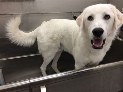 great pyrenees lab mix puppies 10 best my great pyrenees lab mix images on