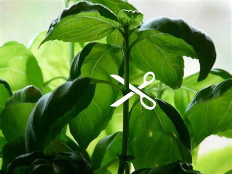 prune basil click grow blog
