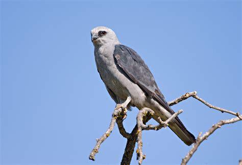 avian l for birds mississippi kite audubon field guide