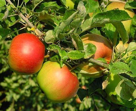 apple uttwiler spatlauber fruit stem cells phamix