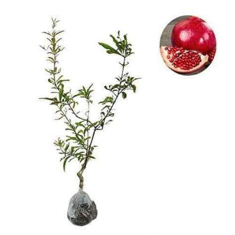 Benih Buah Delima Merah jual tanaman delima merah pomegranate bibit