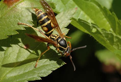 How To Make Paper Wasps - social wasps and bees in the midwest insects
