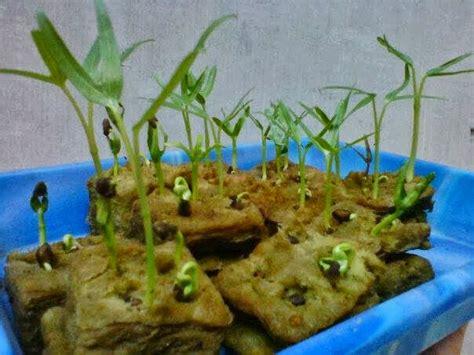 Jual Alat Hidroponik Kangkung cara pindah tanam kangkung hidroponik cara menanam