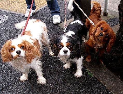 king dogs musings of a biologist and lover mismark study cavalier king charles spaniel
