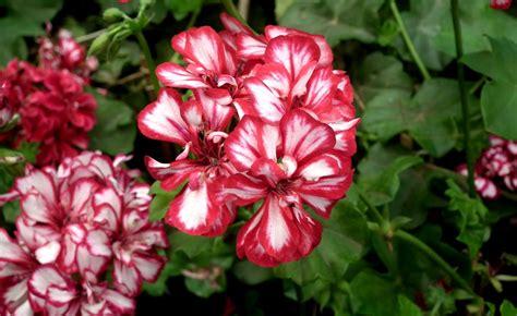piante da giardino contro le zanzare le piante giuste contro gli insetti molesti
