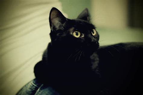 cute black cats cute cat